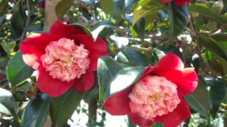 椿の花盛り